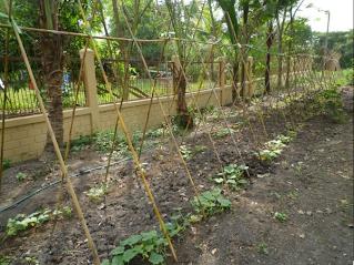 Soil Preparation First Planting And Sprinkler Irrigation Chaiyapruk Foundation